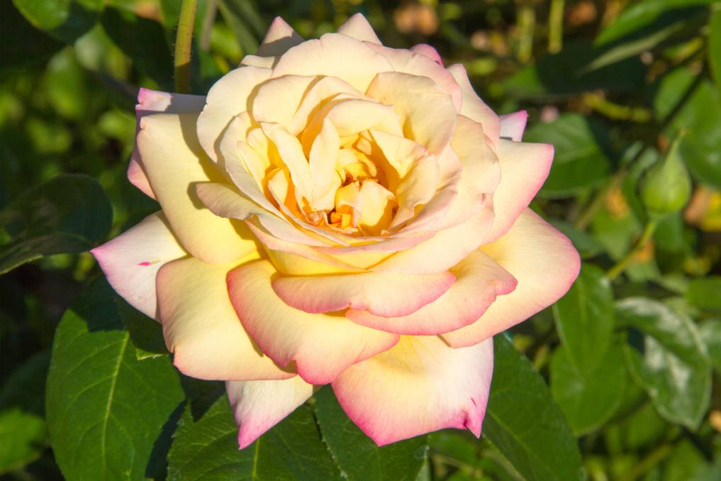 FOREVER FAVOURED: Some hybrid tea roses, like Peace, persist as perennial favourites, surviving ever-changing gardening trends.