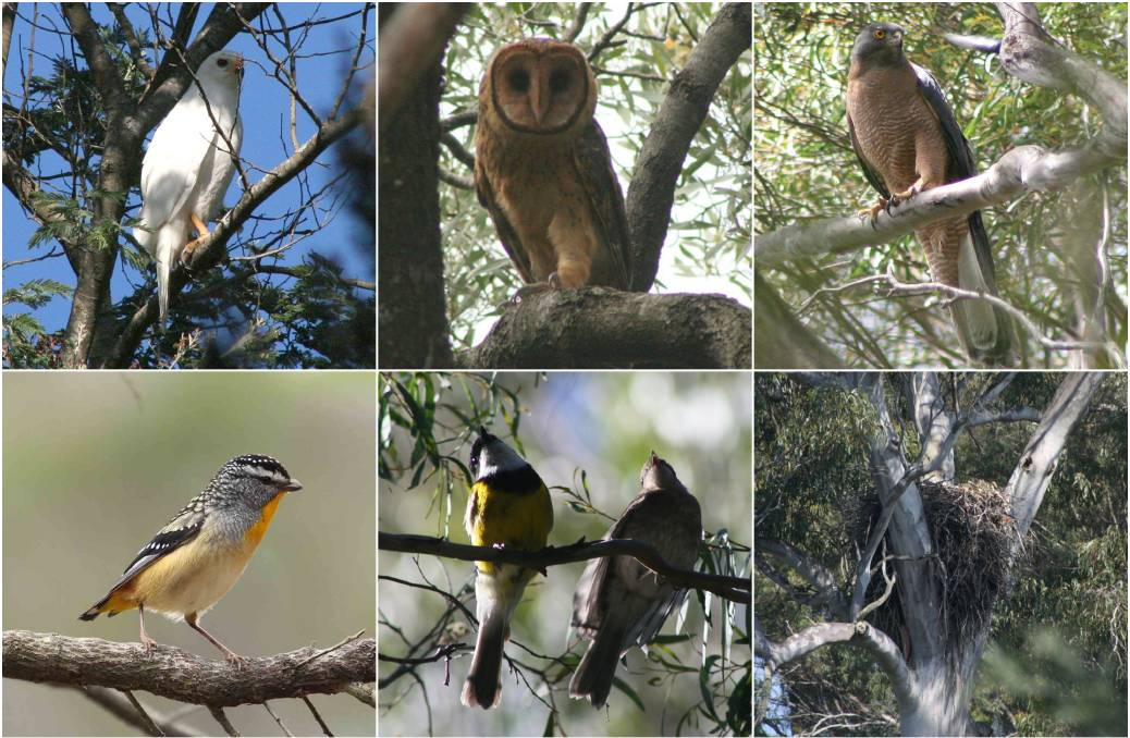 Birds documented on the proposed prison site include (clockwise from top-left) the grey goshawk, masked owl, brown goshawk, a wedge-tailed eagle nest on neighbouring property, golden whistlers and spotted pardalote (2018), mostly recorded in a series of surveys in late 2006 and 2007. Pictures: Sarah Lloyd