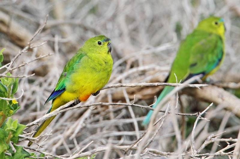 Orange-bellied parrots number fewer than 30 in the wild, making them critically endangered.
