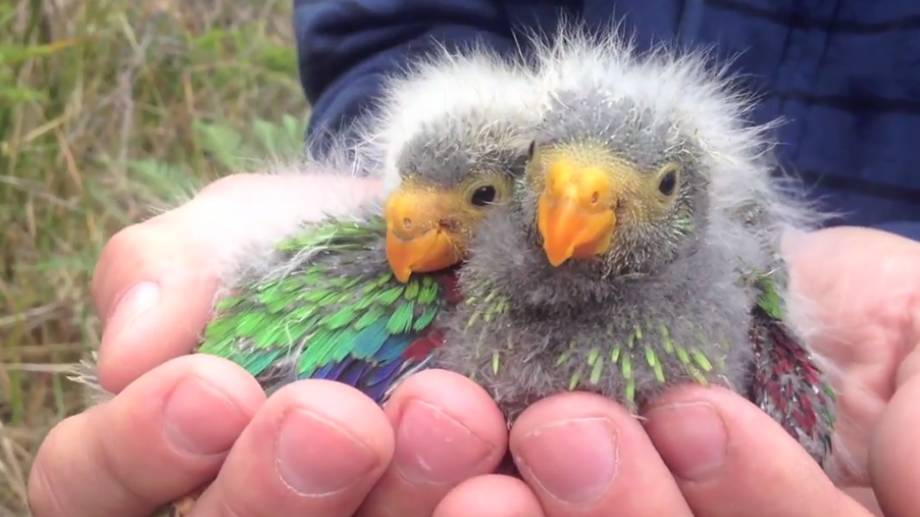 Swift parrot chicks, found as part of the Australian National University study. Picture: Dr Dejan Stojanovic