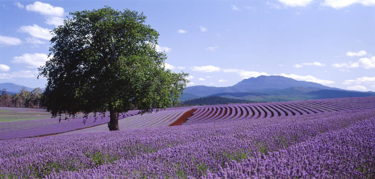 Spectacular views: Spend the day wandering through the lavender fields and enjoying all the attractions Bridestowe has to offer. Picture: Supplied