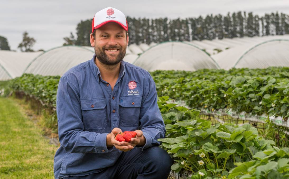 PACIFIC SOLUTION: Hillwood Berries farm manager Simon Dornauf says the picking season has begun.